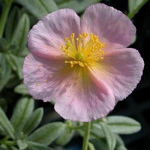 HELIANTHEMUM 'Rhodanthe Carneum' ('Wisley Pink')