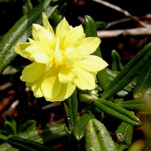 HELIANTHEMUM 'Sulphureum Plenum' ('Gelbe Perle')