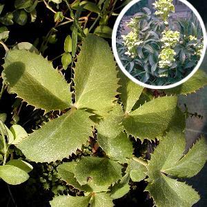 HELLEBORUS argutifolius (lividus ssp. corsicus)