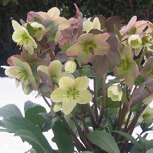 HELLEBORUS ballardiae 'Candy Love'