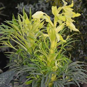 HELLEBORUS foetidus 'Yellow Wilgenbroek'