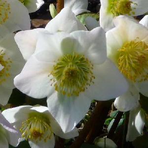 HELLEBORUS niger 'Praecox'