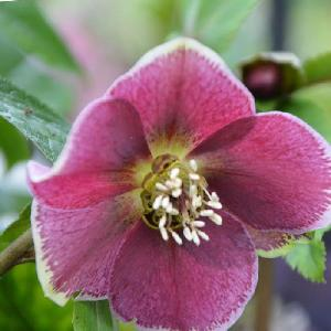 HELLEBORUS orientalis 'Aubergine with White Edge'
