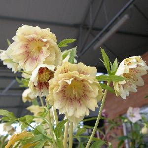 HELLEBORUS orientalis 'Double Yellow Spotted'