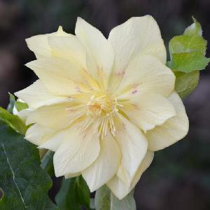 HELLEBORUS orientalis 'Double Yellow'