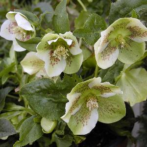 HELLEBORUS orientalis 'Spotted Hybrids'