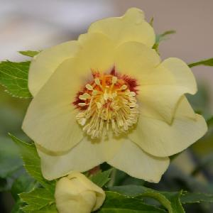 HELLEBORUS orientalis 'Super Yellow'