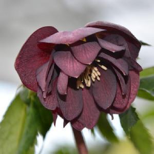 HELLEBORUS orientalis 'Double Black'