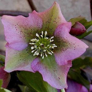 HELLEBORUS orientalis simple mix C1L