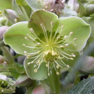HELLEBORUS sternii 'Boughton Beauty'