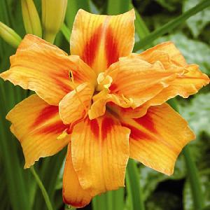 HEMEROCALLIS 'Apricot Beauty'