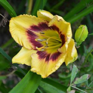 HEMEROCALLIS 'Calico Jack'