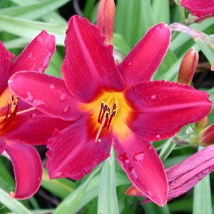 HEMEROCALLIS 'Carey Quinn'
