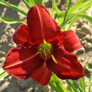 HEMEROCALLIS 'Chicago Rosy'