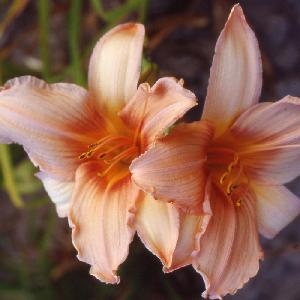 HEMEROCALLIS 'Exalted Ruler'