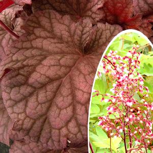 HEUCHERA 'Berry Smoothie'®