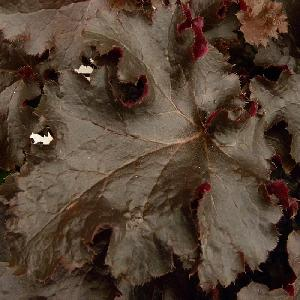HEUCHERA 'Black Beauty'®