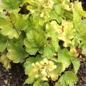 HEUCHERA 'Blondie in Lime' (Little Cutie Series) ®