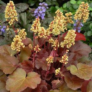 HEUCHERA 'Blondie' (Little Cutie Series)®