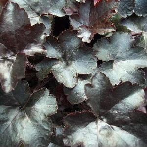 HEUCHERA 'Blackout'®