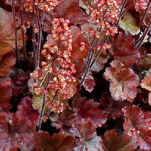 HEUCHERA 'Cherry Cola'®
