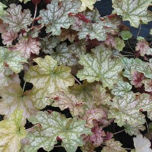 HEUCHERA 'Ginger Ale'®
