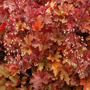 HEUCHERA ?Ginger Peach?