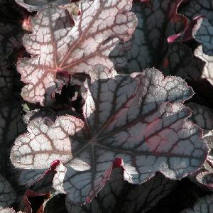 HEUCHERA 'Guardian Angel'®