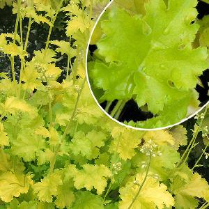 HEUCHERA 'Lime Rickey' ®