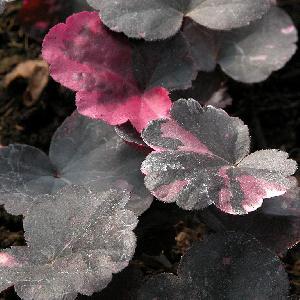 HEUCHERA 'Midnight Rose' ®