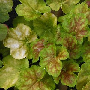 HEUCHERA 'Miracle'®