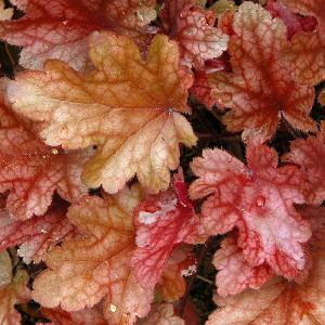 HEUCHERA 'Peach Flambe'®
