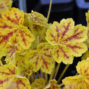 HEUCHERELLA 'Stoplight' ®
