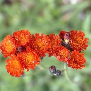 HIERACIUM aurantiacum (Pilosella aurientaca)