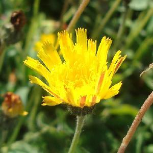 HIERACIUM pilosella (Pilosella officinarum)