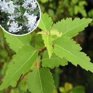 HOHERIA angustifolia 'Borde Hill'