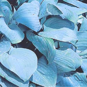 HOSTA 'Fragant Blue'