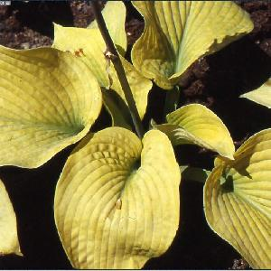 HOSTA 'Golden Medallion'