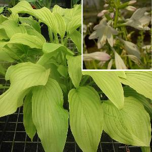 HOSTA 'Honeybells'