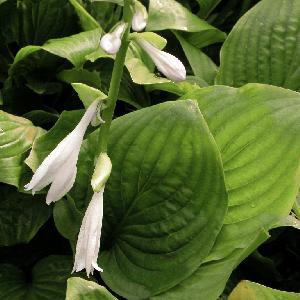 HOSTA plantaginea var. japonica (grandiflora)
