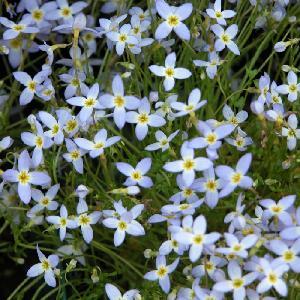 HOUSTONIA caerulea 'Millard's Variety'