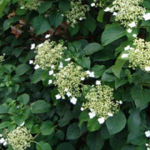 HYDRANGEA anomala ssp. anomala