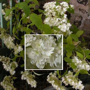 HYDRANGEA arborescens 'Hayes Starburst'