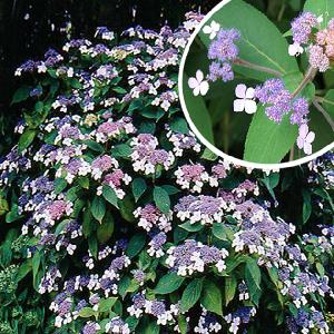 HYDRANGEA aspera 'The Ditch'