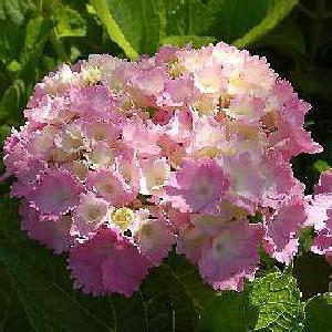 HYDRANGEA macrophylla 'Amethyst'
