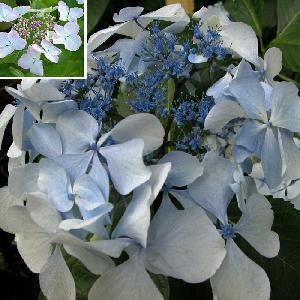 HYDRANGEA macrophylla 'Beauté Vendomoise'