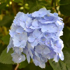 HYDRANGEA macrophylla 'Blue Armor'