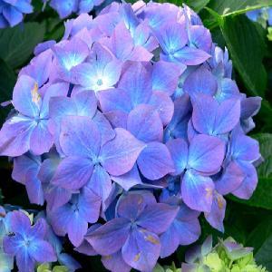 HYDRANGEA macrophylla 'Blauer Prinz'