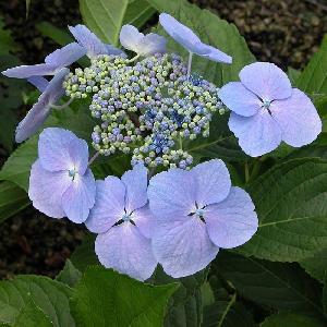 HYDRANGEA macrophylla 'Blue Wave'