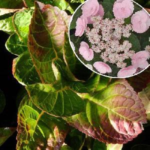 HYDRANGEA macrophylla 'Camino'